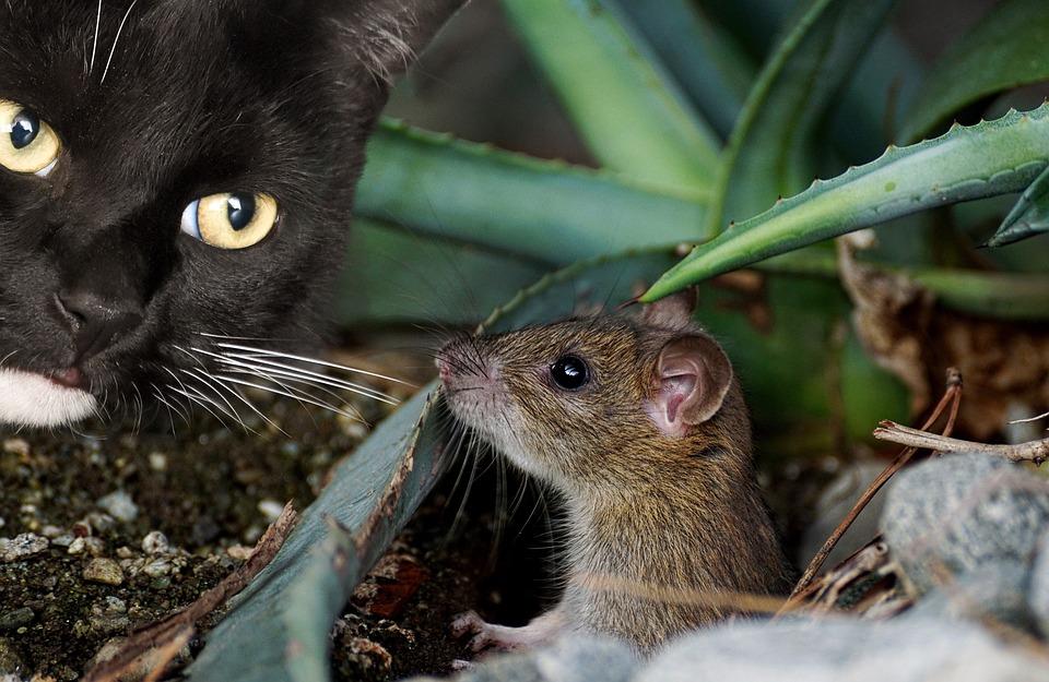 Que mangent les rats ?